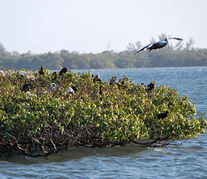 The Dry Tortugas Mangroves