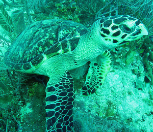 The Turtles of The Dry Tortugas