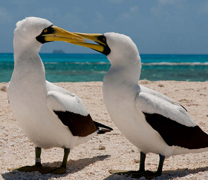 The Masked Booby