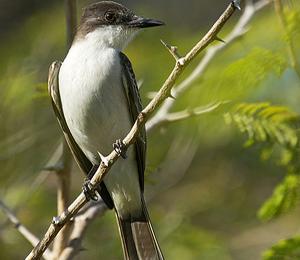 The Loggerhead Kingbird