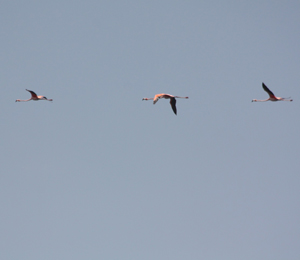 American Flamingos Visit the Dry Tortugas