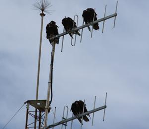 Turkey Vultures Soar in August
