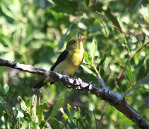 Scarlet Tanager Seen at Fort Jefferson