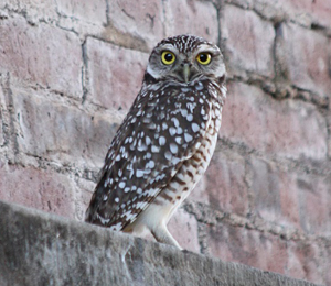 Owl Spotted at Fort Jefferson